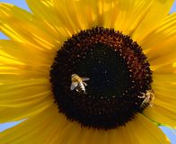 Sunflower with two bees. Natural summer background. With beautiful flower and with important flying insects royalty free stock image