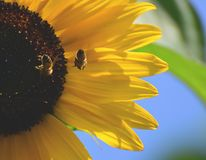 Sunflower with bees and with blue sky. Sunflower with two bees. Natural summer background with copy space stock images