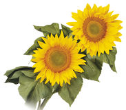 Sunflower. Two sunflowers on white background Royalty Free Stock Photos