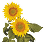 Sunflower. Two sunflowers on white background Stock Photos