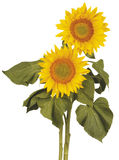 Sunflower. Two Sunflower on white background Stock Photo