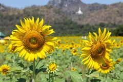 Sunflower is a type of tree. royalty free stock photo