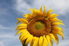 Sunflower in Ukraine land. Photo #2 Royalty Free Stock Photos