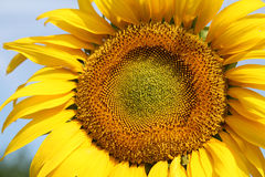 Sunflower in Ukraine land. Stock Photo