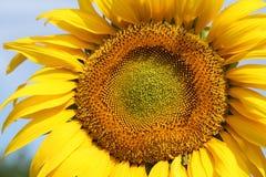 Sunflower in Ukraine land. Photo #1 Stock Photo