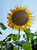 Sunflower under blue sky. Sun flower under blue sky  in the field Royalty Free Stock Images