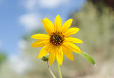 Sunflower under a bright blue sky. Royalty Free Stock Image
