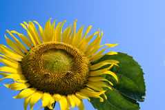 Sunflower under clear summer blue sky. Royalty Free Stock Photos