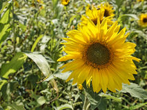 Sunflower under the sunlight. Young twin leaf shiny green under the sun royalty free stock images