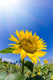 Sunflower under sunshine Stock Image