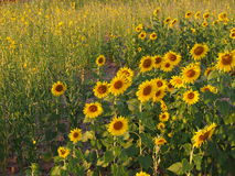 Sunflower. Under the sunshine in Thailand Stock Photography