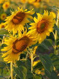 Sunflower. Under the sunshine in Thailand Stock Images