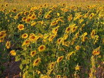 Sunflower. Under the sunshine in Thailand Stock Image