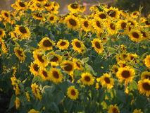 Sunflower. Under the sunshine in Thailand Royalty Free Stock Photography
