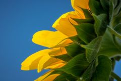 Sunflower from underneath. Sunflower viewed from underneath showing yellow petals and blue sky stock image