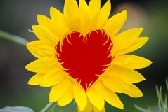 Sunflower valentine heart. Vector heart as the center of a bright yellow sunflower Stock Image