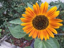 Sunflower variation Helianthus annuus Royalty Free Stock Photos