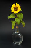 Sunflower in vase of water. Stock Image