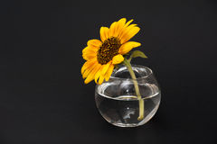Sunflower in vase of water Stock Photos