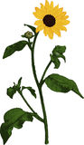 Yellow Sunflower. Vector Stock Image