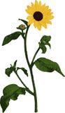 Yellow Sunflower. Vector Stock Image