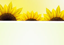 Sunflower vector background  with frame Stock Photos