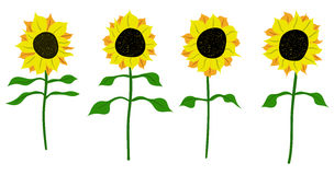 Sunflower vector flower nature illustration Stock Photos