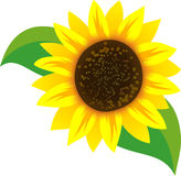 Bright Sunflower with Leaves Royalty Free Stock Photo