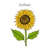 Sunflower. Vector  illustration Stock Photo