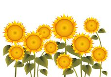 Sunflower. Vector illustration of isolated sunflowers Stock Photos