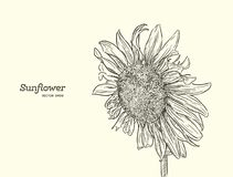 Sunflower. Vector set of hand drawn sunflower. Sunflower. Vector set of hand drawn sunflowers , vintage style Royalty Free Stock Photos