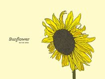 Sunflower. Vector set of hand drawn sunflower. Sunflower. Vector set of hand drawn sunflowers , vintage style Stock Photography