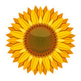 Sunflower vector  on white background. Yellow sun flower. Sunflower with orange petal illustration Stock Photo