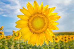 Sunflower, Verona, Wisconsin, USA. A bright yellow sunflow in full bloom on a sunny summer day royalty free stock images