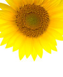 Sunflower (vertical) Stock Photos
