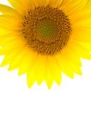 Sunflower (vertical) stock photos