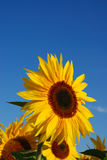 Sunflower vertical. Single sunflower against blue sky Royalty Free Stock Image