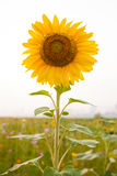 Sunflower. The vertical composition one sunflower Royalty Free Stock Images