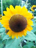 Sunflower. Very beautiful sunflower Royalty Free Stock Photography