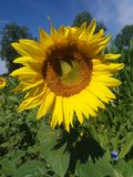 Sunflower. Very nice. Stock Photo