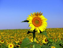 Sunflower VI. Field of sunflower in the region Alentejo, Portugal Royalty Free Stock Image