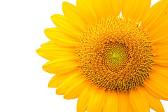 Sunflower. Vibrant color of sunflower with green leaf on background Royalty Free Stock Photos