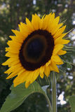 Sunflower Vibrant and Detailed Royalty Free Stock Images