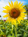Sunflower view. Sunflowers view on the morning Royalty Free Stock Image