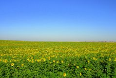 Sunflower VII. Field of sunflower in the region Alentejo, Portugal Royalty Free Stock Images