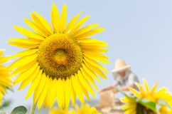 Sunflower Village Royalty Free Stock Photos