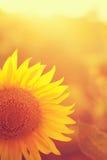 Sunflower Vintage Stock Image