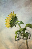 Sunflower in Vintage Canning Jar Stock Images