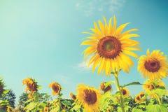 Sunflower (Vintage filter effect used) Stock Image