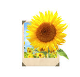 Sunflower in vintage photo frame with 3d effect Stock Photo